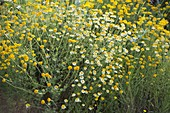 Anthemis tinctoria 'Hollandaise Sauce' (Light Dye Chamomile)