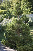 Shape cut in black pine