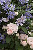 Rose 'Clair', Clematis 'Juuli', 'Piilu'