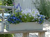Ageratum, Solenopsis Axillaris 'Blue Star', Salvia