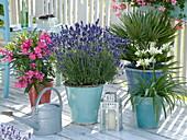 Lavendel 'Hidcote Blue' (Lavandula), Nerium oleander (Oleander)