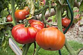 Meat Tomatoes 'Orenbourg Giant'
