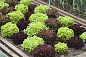 Decorative salads planted in oblique rows