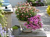 Argyranthemum 'Cherry Harmony', Calibrachoa Celebration
