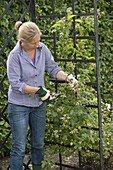 Woman cutting back withered Rosa 'New Dawn' flowers
