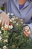 Woman cuts back Argyranthemum (Marguerite)