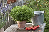 Mini basil 'Picolino' (Ocimum) in clay pot, ripe tomatoes