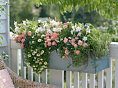 Scented balcony box with Dianthus caryophyllus, Nicotiana