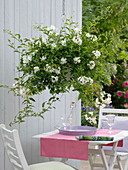 Hanging basket with Solanum jasminoides (Jasmine Nightshade)