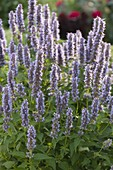 Agastache rugosa hybrid 'Blue Fortune' (blue nettle, fragrance nettle)