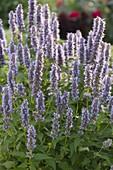 Agastache Rugosa-Hybride 'Blue Fortune'(Blaunessel, Duftnessel)