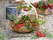 Basket of freshly picked edible rowanberries (Sorbus edulis)
