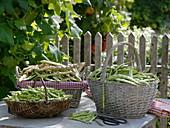 Freshly harvested beans (Phaseolus)
