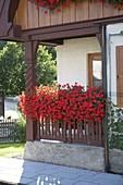 Wooden veranda with Pelargonium 'Ville de Paris' (hanger geranium)