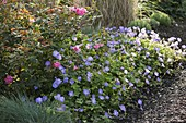 Rose 'Flash Meidiland', robust, often flowering, geranium