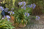 Agapanthus africanus (African ornamental lily)