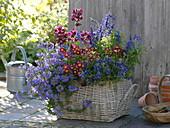 Late summer plant basket with Argyranthemum 'Meteor Red'