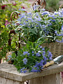 Caryopteris 'Blue Beard' (basket flower) in basket plants