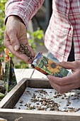 Fill dried seeds of Helianthus (sunflower) in bags