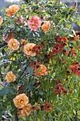Rose 'Belvedere' shrub rose 1.5-1.8 m high fruity scent