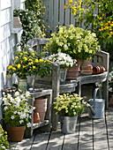 White-yellow terrace-Argyranthemum 'Sole Mio', Nicotiana