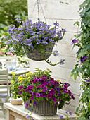 Scaevola 'Top poT Blue' fan flower basket, basket box with Petunia Tiny