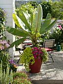 Musa acuminata underplanted with Ipomoea Sweet Heart 'Light Green'