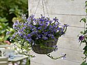 Scaevola 'Top pot blue' (fan flower) in hanging basket