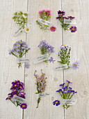 Aster Tableau Fall Snow, Barr's Pink, Violetta, Perennial, Aster sedifolius