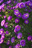 Aster novi-belgii 'Fuldatal' (plain leaf, autumn red)
