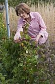 Woman picking raspberries (Rubus)