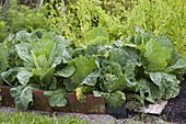 Chinese cabbage (Brassica rapa subsp. Pekinensis) in the vegetable patch