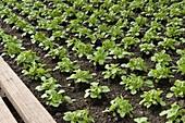 Corn salad (Valerianella locusta)