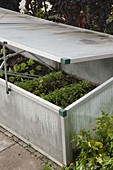 Cold frame with young plants of different salad varieties