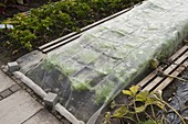 Vegetable net protects freshly planted lettuce plants from pests