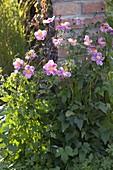 Anemone japonica hybrid 'Rose Bowl'
