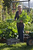 Frau erntet Chinakohl (Brassica) im Gemüsegarten