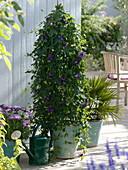 Passiflora 'La Morellina' (Passionsblume), Osteospermum Impassion 'Pink