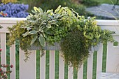 Herb box with noble sage 'Rotmühle', thyme