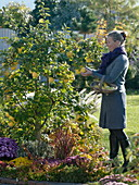 Woman is harvesting apple quinces