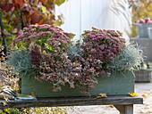 Autumn box with Sedum 'Rosenteller', Abelia grandiflora 'Confetti'