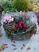 Korbring als bepflanzter Kranz : Cyclamen (Alpenveilchen), Gaultheria