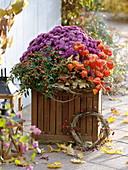 Wooden box with Chrysanthemum 'Kilo', Capsicum