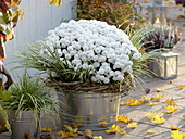 Chrysanthemum 'Koon' (autumn chrysanthemum), Acorus (dwarf calamus)