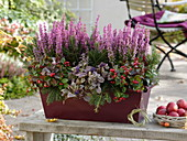 Autumn box with Erica gracilis 'Christine', Gaultheria procumbens