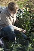Woman is harvesting broccoli (broccoli)
