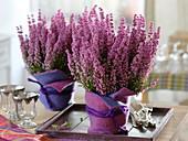 Erica gracilis 'Christine' in pink-purple felt planters