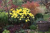 Chrysanthemum indicum 'November Sun', Spiraea