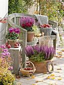 Autumn terrace with Erica gracilis 'Christine', Cyclamen