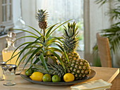 Pineapple comosus, as a houseplant with mini fruit